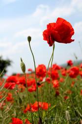 poppy love by lady-simple
