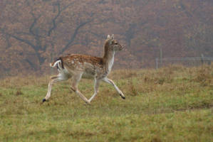 Deer 2 by gaothaire