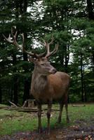 Deer .. 06 by gaothaire