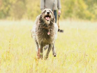 Deerhound running by gaothaire