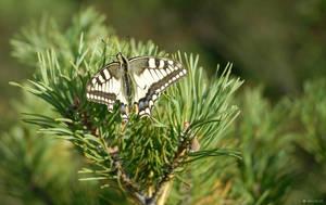 Papilio machaon by veruce