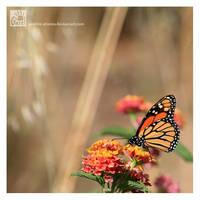 Monarch by Garelito-Photos