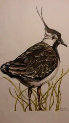 Lapwing by ClaudiaCooper
