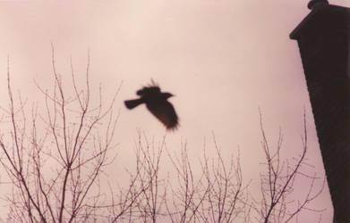 Crow Flying by paulkarpinski