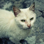 White Cat by Anhen
