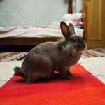 Rabbit Dyma by Anhen