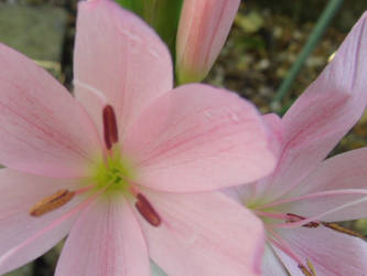 Pink flower by courtneycookie1