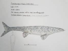 Maastricht formation: Plioplatecarpus marshi by paleosir