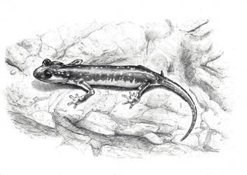 Lyciasalamandra helverseni by ThePathOfDreams