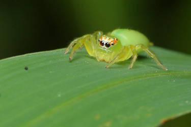 green jumping spider by troypiggo