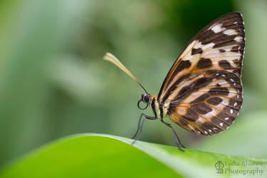 Tiger Longwing by LydiaRhianne