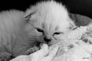 Kitten IX by Rayon2lune