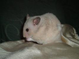 hamster stock by DemoncherryStock