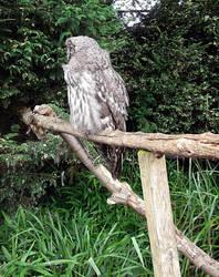 Owl Stock by DemoncherryStock