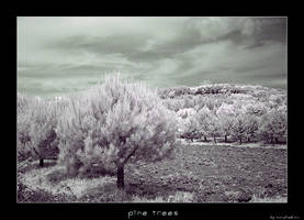 pine trees by morphadron