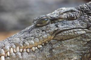 Portrait of a crocodile by DreamingDragon-Fly