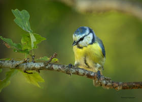 A curious blue tit by roisabborrar
