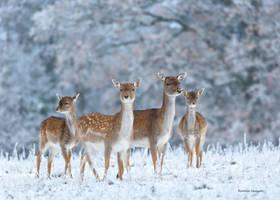 Fallow deer by roisabborrar