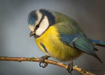 Sunny weather and a Blue tit by roisabborrar