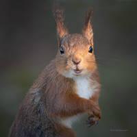 A Squirrel and sunlight by roisabborrar