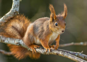 A curious Squirrel by roisabborrar