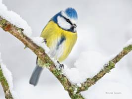 Snowy and a Blue tit by roisabborrar