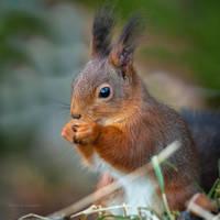 A Squirrel having a snack by roisabborrar