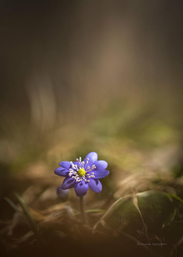 Hepatica among light and shadows by roisabborrar