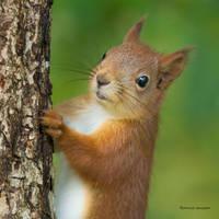 A Squirrel watching me by roisabborrar