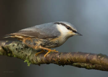 The Nuthatch by roisabborrar