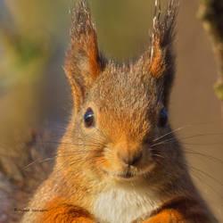Portrait of a Squirrel by roisabborrar
