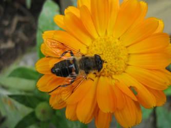 Bee on flower by EasyCom