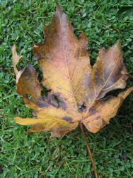 brown leaf by jessypearce