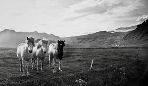 Iceland - Icelandic horses by PatiMakowska