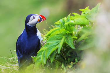 One of the most beautiful bird - PUFFIN by PatiMakowska