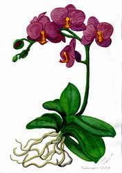 Phalaenopsis Orchid by Elentarri