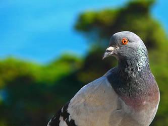 Pigeon Wallpaper by ktso