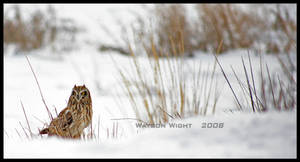 The Short Eared Owl by tourofnature