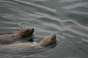 Sea Lion escapade by enavantinc