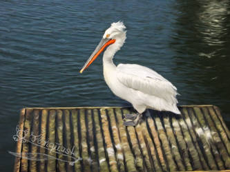 Pelican by Flohquaste