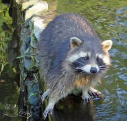 Raccoon by Flohquaste