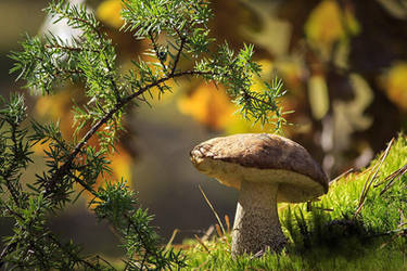 Boletus mushroom by Daykiney