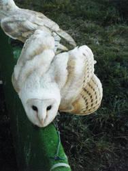 Barn Owl 2 by Kayllik