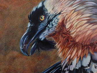 Bearded Vulture by Shapooda