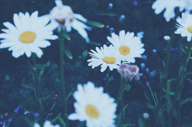 Dream Of Daisies by thatoneangelfish