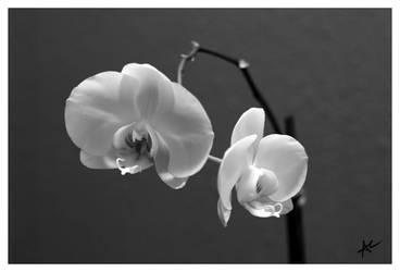 Orchids by Scoobie-fan-gurl
