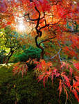 Japanese Maple by coulombic
