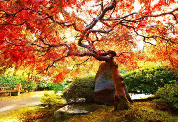 Japanese Maple, I by coulombic