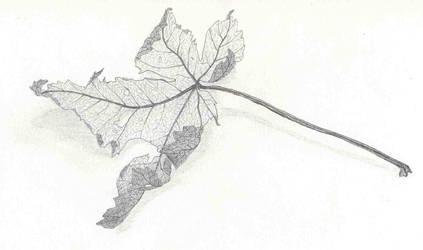 Dry maple leaf by Panartias