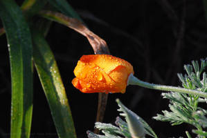 California Poppy Dew by Sageous